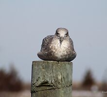 Gull on Piling by Gilda Axelrod