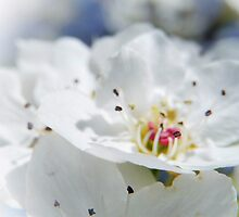 SWEET DAYS AND BLOSSOMS by Sandra  Aguirre