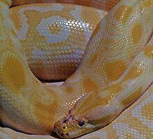 Burmese Python by DarthIndy