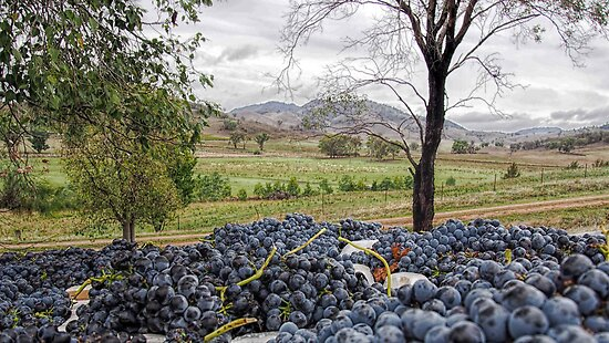 Mudgee Grapes by yolanda