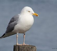 Seagull with Cute Feet on a Wooden Piling by Gilda Axelrod