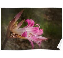 Pink Easter Lily #2 Poster