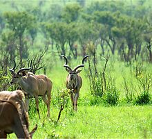 THE BEAUTY OF NATURE  -  KRUGER KUDU LANDSCAPE - KRUGER KOEDOE - LANDSKAP by Magriet Meintjes