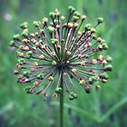 Allium Seed Head by Astrid Ewing Photography