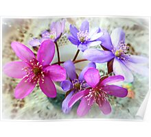 Hepatica beauties Poster