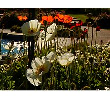 Poppies in the Afternoon Light Photographic Print