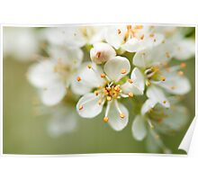 St Lucie Cherry Blossom Poster
