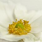Anenome Japonica  by SandraRos