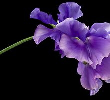Sweet Pea Study by Anne Gilbert