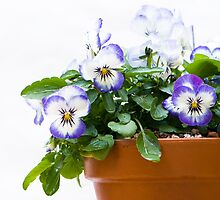 Purple Swirl Violas by Anne Gilbert