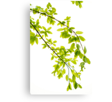 Green leaves in sunlight background Canvas Print