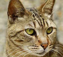 A cat with sharp eyesight, close-up. by kawing921