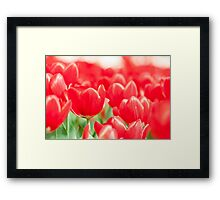 Tulip flowers in spring  Framed Print