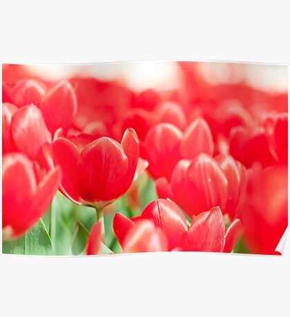 Tulip flowers in spring  Poster