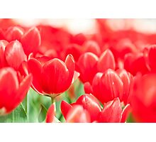 Tulip flowers in spring  Photographic Print