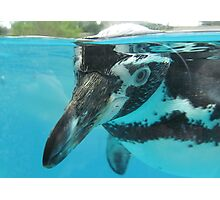 Humboldt Penguin at Welsh Mountain Zoo Photographic Print