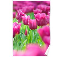 Pink tulip in spring time Poster