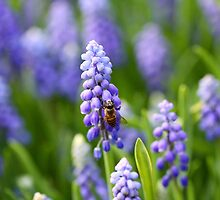 Grape hyacinth with bee in spring by kawing921