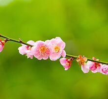 Plum blossoms blooming by kawing921