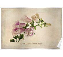 Digitalis purpurea (Common Foxglove) Poster