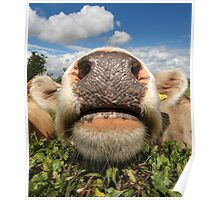 Funny Amusing Cow Poster