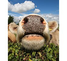 Funny Amusing Cow Photographic Print