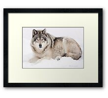 ..Wolf..singing in the cold Framed Print