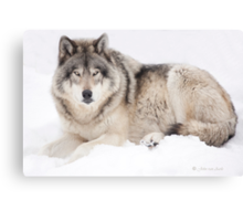 ..Wolf..singing in the cold Canvas Print