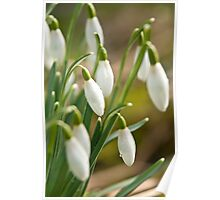 Winter Snowdrops Poster