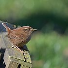 Northern wren - I (Troglodytes troglodytes) by Peter Wiggerman