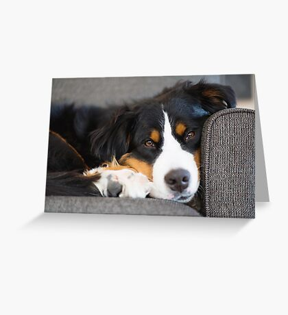 Bernese Mountain Dogs are super cute. Greeting Card