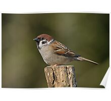 Tree sparrow - II ( Passer montanus) Poster