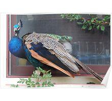Illusive Peacock Poster