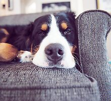 Sometimes Bernese Mountain Dogs just get lazy. by TheJill