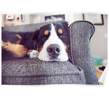 Sometimes Bernese Mountain Dogs just get lazy. Poster