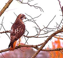 Red Tailed Hawk by Russell L. Frayre / Photographer