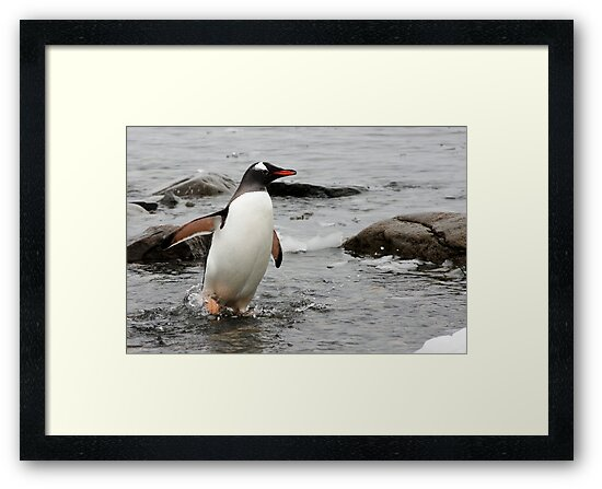 "Gentoo Penguin ~ ""Gawd it's Cold"" by Robert Elliott"