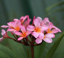 Rainy Day Frangipani by Keith G. Hawley