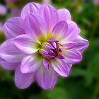 Dahlia - purple by Evelyn Laeschke