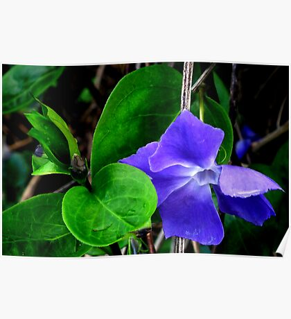 Periwinkle .................. Poster