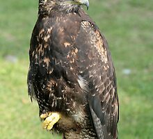 Harris Hawk by rhamm