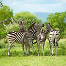 Four Zebra, South Africa by Shannon Wild
