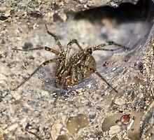 Agelenidae Spider in Funnel Web - Grass Spider by MotherNature