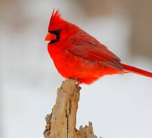 Male Cardinal  by NatureGreeting Cards ©ccwri