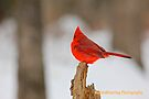 Cardinal On A Stick by NatureGreeting Cards ©ccwri