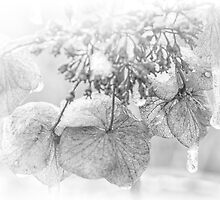 Iced Hydrangea In Light And Shadow - Black and White by MotherNature2