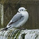 Kittiwake by Jamie  Green