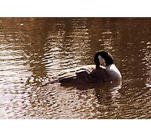 Canada Goose Preening Itself Photographic Print