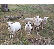 Flock of Sheep Photographic Print