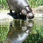 Hippo reflecting by Maggie Hegarty